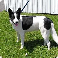 Adopt A Pet :: Pepper - Rigaud, QC