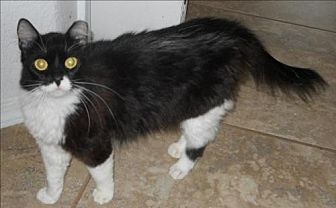 Domestic Longhair Cat for adoption in San Antonio, Texas - Fluffers