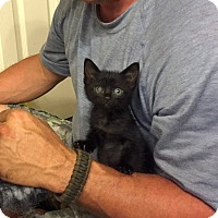 Adopt A Pet :: Nyan - Bentonville, AR