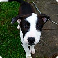 Adopt A Pet :: Gracie - Morgantown, WV