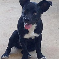 Adopt A Pet :: Jillian - Rhome, TX