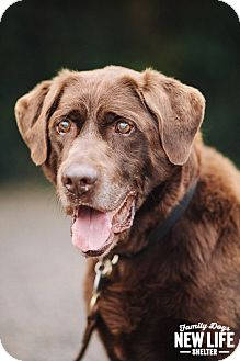Labrador Retriever Dog for adoption in Portland, Oregon - Nerf