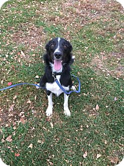 Border Collie Mix Dog for adoption in Indianola, Iowa - Louie