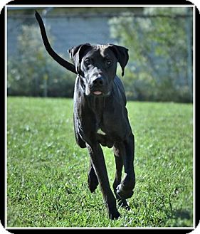 Great Dane Mix Dog for adoption in Indian Trail, North Carolina - Major
