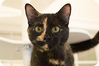 Domestic Shorthair Cat for adoption in Peace Dale, Rhode Island - Maui