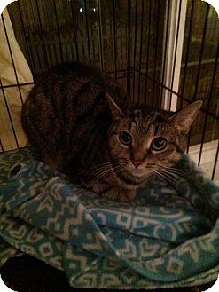 Domestic Shorthair Cat for adoption in Northfield, Ohio - Peanut