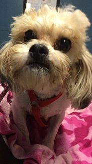 Shih Tzu/Poodle (Miniature) Mix Dog for adoption in Kansas city, Missouri - Ollie