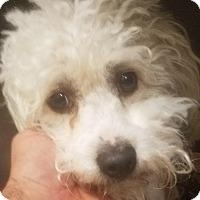 Adopt A Pet :: Doodles - Canoga Park, CA