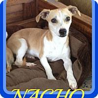 Adopt A Pet :: NACHO - Middletown, CT
