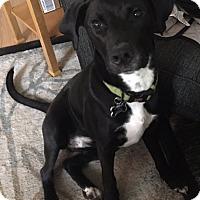 Adopt A Pet :: Arya - Battle Ground, WA