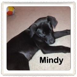 Australian Shepherd/Labrador Retriever Mix Puppy for adoption in Marlton, New Jersey - Baby Mindy
