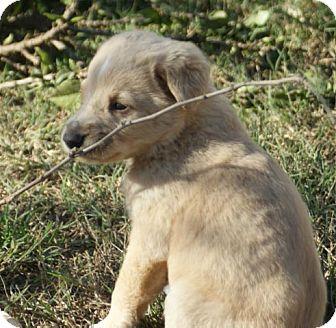 Golden Retriever/Husky Mix Puppy for adoption in Torrance, California - REMI