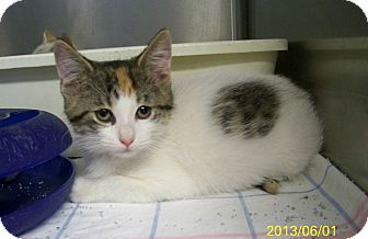 Domestic Shorthair Kitten for adoption in Dover, Ohio - Mazzy