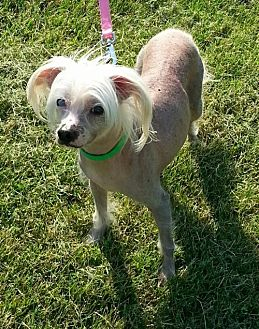 Chinese Crested Dog for adoption in Kingston, New York - Calvin (KY)