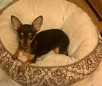 Chihuahua Dog for adoption in Albion, Rhode Island - Ivy-I'M ADOPTED!!!