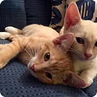 Adopt A Pet :: COTTON N' SPARKY - Brea, CA