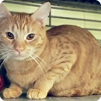 Adopt A Pet :: Pippin - Edwards AFB, CA
