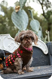 Shih Tzu Dog for adoption in Auburn, California - Cookie