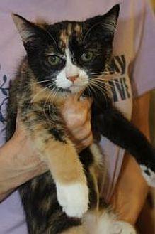 Calico Kitten for adoption in Louisville, Kentucky - Louise