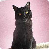 Domestic Shorthair Cat for adoption in St. Paul, Minnesota - Sassafrass