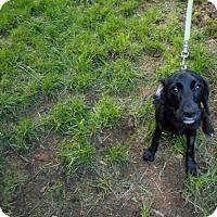 Adopt A Pet :: Tyler -Lab mix pup-Adopted! - Kannapolis, NC