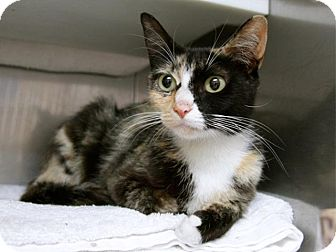 Domestic Shorthair Cat for adoption in Hawthorne, California - Miss Kitty