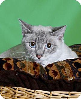 Siamese Cat for adoption in Gloucester, Virginia - MOONEYES