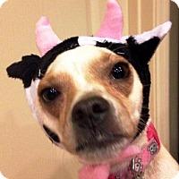 Chihuahua Mix Dog for adoption in Gilbert, Arizona - Zoey
