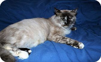 Siamese Cat for adoption in Mackinaw, Illinois - Nani