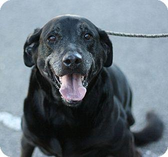 Labrador Retriever Mix Dog for adoption in Canoga Park, California - Noel