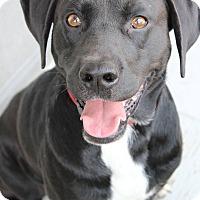 Adopt A Pet :: Gromit - Manhattan, KS