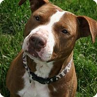 Adopt A Pet :: Cocoa - Lake Odessa, MI