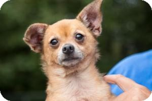 Chihuahua Dog for adoption in Rochester Hills, Michigan - Curley