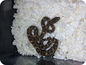 Snake for adoption in Arlington, Texas - Cuervo