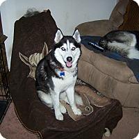 Adopt A Pet :: DUKE - Brick, NJ