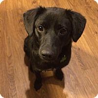 Adopt A Pet :: Bear Bear - Lewisville, IN