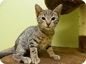 Domestic Shorthair Kitten for adoption in The Colony, Texas - Campari