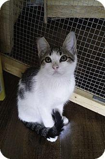 Domestic Shorthair Kitten for adoption in Schertz, Texas - Leslie TG