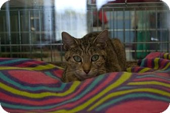 Domestic Mediumhair Cat for adoption in Martinsville, Indiana - Angela