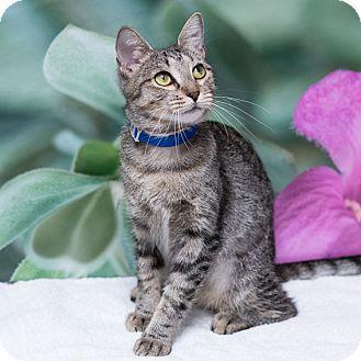Domestic Shorthair Cat for adoption in Houston, Texas - Artemis