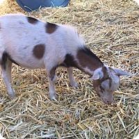 Adopt A Pet :: Cupid - Palmdale, CA