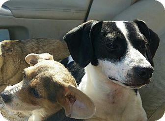 Dachshund Mix Dog for adoption in Westport, Connecticut - Rosie-9 Pounds