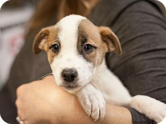 Labrador Retriever Mix Puppy for adoption in Dallas, Texas - Arwen