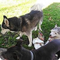 Adopt A Pet :: Sage - Alhambra, CA