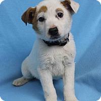 Adopt A Pet :: BIRDIE - Westminster, CO