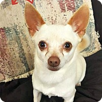 Adopt A Pet :: Chloe the Chihuahua - Spartanburg, SC