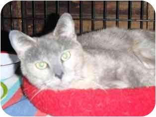 Domestic Shorthair Cat for adoption in Pasadena, California - Alexis