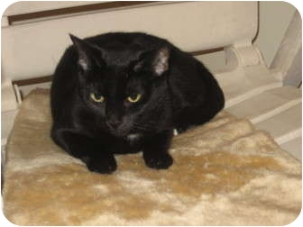 Bombay Cat for adoption in Huffman, Texas - Cleo