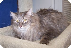 Maine Coon Cat for adoption in Colorado Springs, Colorado - K-Price13-Lainey