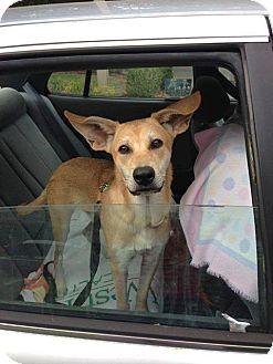 Carolina Dog Mix Puppy for adoption in Cranston, Rhode Island - Skippy (located in Georgia)